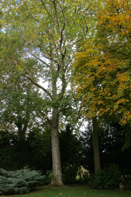 un platane dans un jardin de la rue Maurice Dechy
